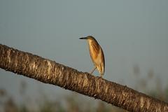 Stock Photo of squacco heron