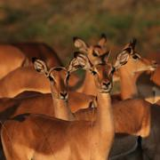 impalas (aepyceros melampus) - stock photo