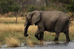 elephant (loxodonta africana) - stock photo