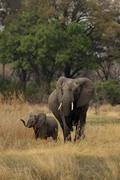 Elephants (loxodonta africana) Stock Photos