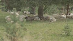 Flock of sheep in shade under tree Stock Footage