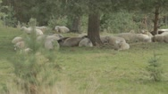 Stock Video Footage of flock of sheep in shade under tree