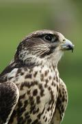 Saker falcon (falco cherrug) Stock Photos