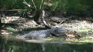 Stock Video Footage of Alligator On Bank