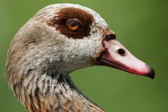 egyptian goose (alopochen aegyptiacus). - stock photo
