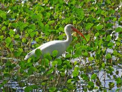 white ibis eudocimus albus in wetland - stock photo