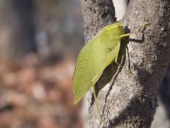 broad winged katydid microcentrum rhombifolium - stock photo