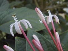 clerodendron glory bower - stock photo