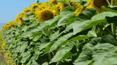 Sunflowers in a Row - stock footage