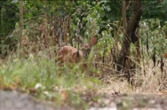 Fawn Grazes In Woods Stock Footage