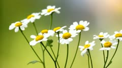 Daisy flowers closeup, white chamomile flowers - stock footage