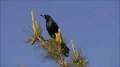Grackle (Blackbird) Stock Footage