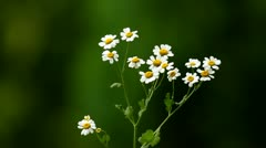 Stock Video Footage of Close-up of white chamomile flowers against dark green background