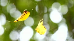 Stock Video Footage of Autumn leaves in the cobweb