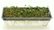 Stock Video Footage of Time-lapse of growing and molding cress seeds in germination box 7a1