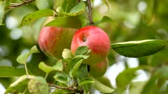 Red apples growing on a tree Stock Footage