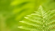 Close-up of a fern leaf in the wind Stock Footage