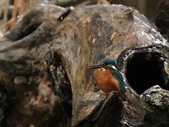 kingfisher (alcedo atthis) - stock photo
