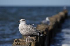 Herring gull (larus argentatus) Stock Photos