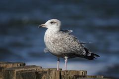 herring gull (larus argentatus) - stock photo