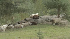 Flock of sheep relaxing on rock Stock Footage
