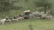 Stock Video Footage of flock of sheep relaxing on rock