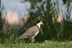 masked lapwing (vanellus miles) - stock photo