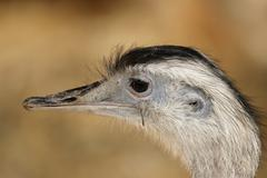 Greater rhea (rhea americana) Stock Photos