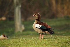egyptian goose (alopochen aegyptiacus) - stock photo