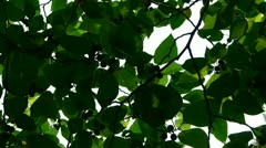 The dense branches foliage covered sky,sunlight through leaves. Stock Footage