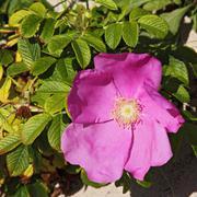 rugosa rose (rosa rugosa) - stock photo