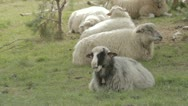 Stock Video Footage of sheep eating grass in shade under tree