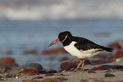 Oystercatcher (haematopus ostralegus) Stock Photos