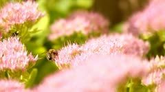 Bees on pink flowers, collecting honey Stock Footage