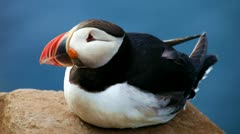 Puffin - stock footage