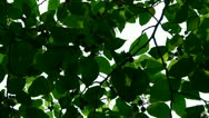 Stock Video Footage of The dense branches foliage covered sky,sunlight through leaves.