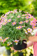 Purple daisy flower in pot Stock Photos