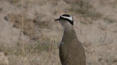 AFRICAN BIRD YAPPING Kenya, Africa Stock Footage