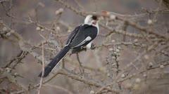 AFRICAN BIRD WITH ORANGE BEAK Kenya, Africa Stock Footage