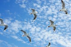 Seagulls group in flight Stock Photos