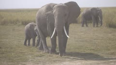 AFRICAN ELEPHANTS READY TO MOVE Kenya, Africa - stock footage