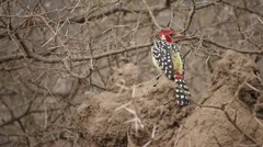 AFRICAN SPOTTED BIRD Kenya, Africa - stock footage