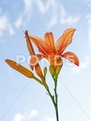 Stock photo of lily flower