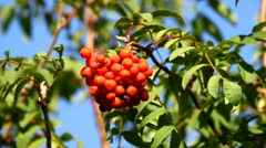 Rowan berries growing, close-up, blue sky - stock footage