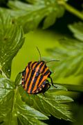 graphosoma lineatum bug on green leaf - stock photo