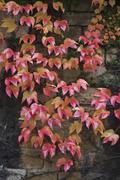 autumn wild grape on wall - stock photo