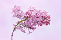 Stock Photo of lilac inflorescence