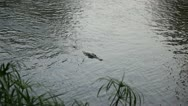 Stock Video Footage of AFRICAN SWIMMING CROCODILE Kenya, Africa