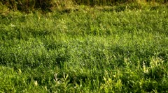 Green natural meadow Stock Footage