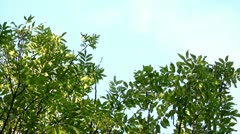 Bright green leaves against blue sky background - stock footage